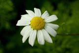 Wild flowers in June