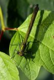 Female dragonfly