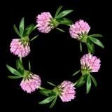 Wild Clover Flower