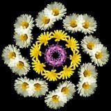 Wheel of Daisies
