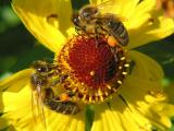 Two Bees on One Flower