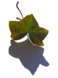 Artist's Ivy