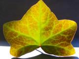 Ivy in backlight