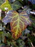 Ivy in February