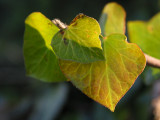 Ivy in evening sunshine
