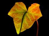 Translucent Ivy