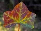 Red Ivy