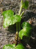 Young Ivy in August