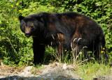 West Coast Bear