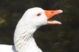 White Goose Speaks