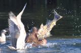 Big Sealion Swallowing Big Salmon