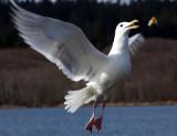 Seagull catches bread.jpg