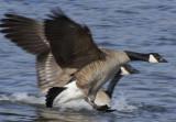 Goose race