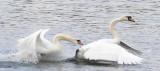 Swan Gets Goosed