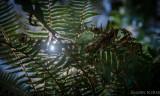 fern light