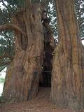 1,500 yr old Yew tree