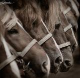 Ketrzyn, Poland, Heavy horses show 2006