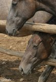 At the lipizzan horses stud