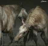 Hot blood of Lipizzan Horses