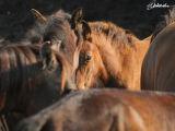 Hungarian Hucul horses