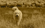 Great Pyrenees - Guard Dog