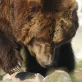 Captive Bear, West Yellowstone