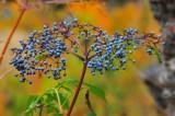 Berries Against Aspen