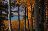 Aspens at Jackson Lake