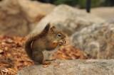 Chipmunk with Breakfast, Yellowstone