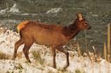 Elk Calf, Autumn Snow