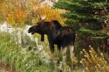 Moose, Teton Natoinal Park