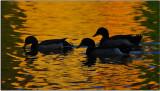 Ducks, American River