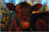 Calf near Burney, California