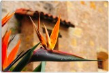 Bird of Paradise, Carmel