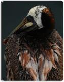 Wet Pelican