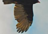 Turkey Vulture #1