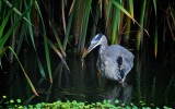 Great Blue Heron with Snake, Abbot Lagoon