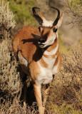 Male Pronghorn Antelope