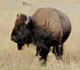 Bison near the Lake Hotel, Yellowstone