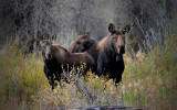 Cow and Calf Moose - Near the Gros Ventre River, East of the Tetons
