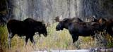 Young Bull Moose, Grand Teton National Park