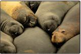 Elephant Seals in Repose