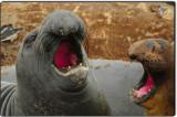 Mock Battle of Elephant Seals