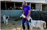 Feeding Calves at Spaletti Ranch