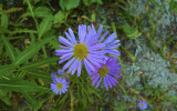 Mountain Asters along the trail.