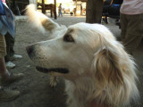 The pack station dog, part Great Pyrenees, was quite friendly.