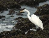 Egret at Montana de Oro Tide Pool