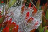 Spiderweb, Dew, Ice Plant