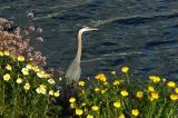 Heron, Wildflowers