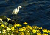 Egret at Ballona Creek